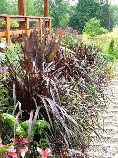 Pennisetum purpureum 'Vertigo' September 2011