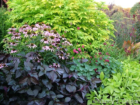Alternanthera 'Purple Knight' with Echinacea purpurea, Sambucus nigra 'Aurea', Scabiosa atropurpurea, Tropaeolum majus, and Ipomoea batatas 'Sweet Caroline Light Green' 2010