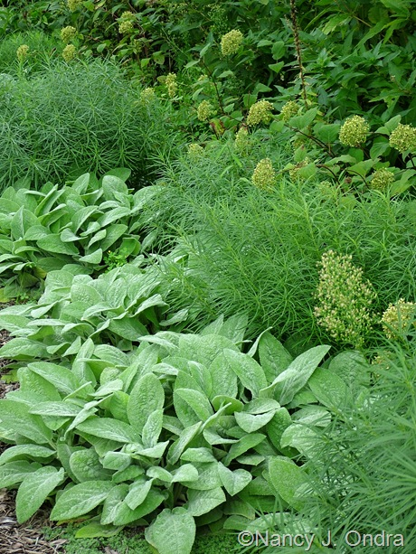 Stachys byzantina 'Big Ears', Amsonia hubrichtii, and Hydrangea arborescens 'NCHA1' (Invincibelle Spirit) September 2011