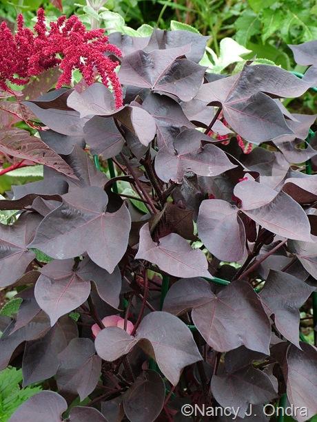 Gossypium herbaceum 'Nigrum' September 2011