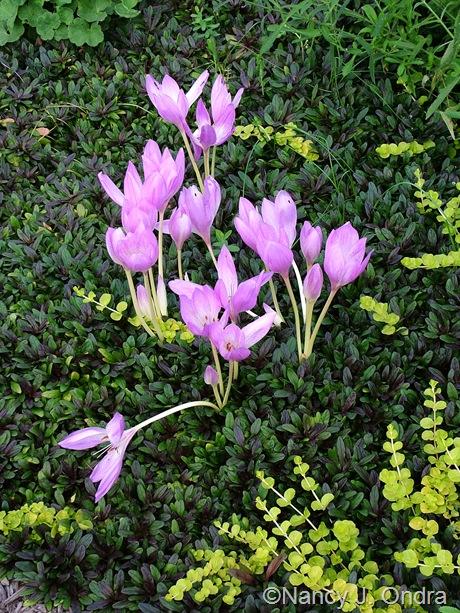 Colchicum 'Violet Queen' with Ajuga reptans 'Valfredda (Chocolate Chip) and Lysimachia nummularia 'Aurea' September 2011