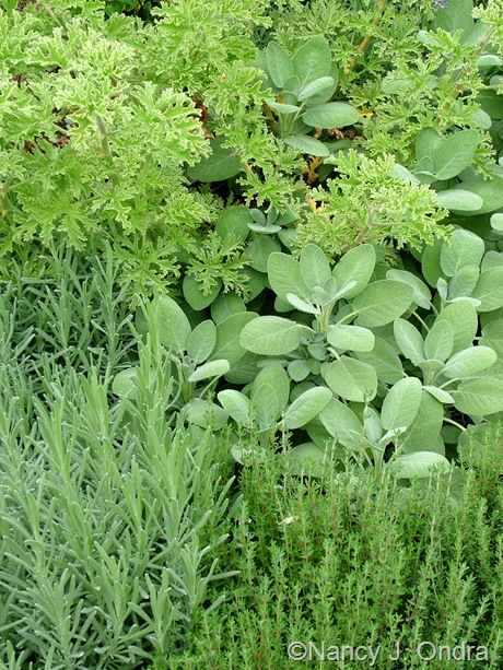 Salvia officinalis 'Berggarten', Thymus vulgaris, Lavandula, and Pelargonium 'Grey Lady Plymouth' September 2011