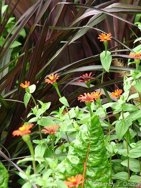 Pennisteum Vertigo ('Tift 8') with Zinnia tenuifolia 'Red Spider' and Swiss chard Aug 2011