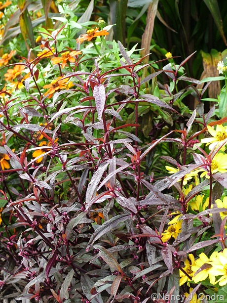 Alternanthera 'Royal Tapestry' with Zinnia 'Profusion Yellow' and 'Profusion Orange' Sept 2011