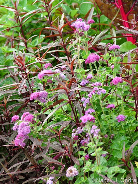 Alternanthera 'Royal Tapestry' with Ageratum 'Red Sea' Sept 2011