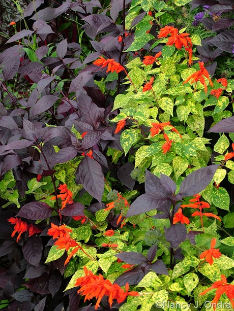 Althernanthera 'Purple Knight' with Salvia splendens 'Dancing Flames' Oct 4 2008