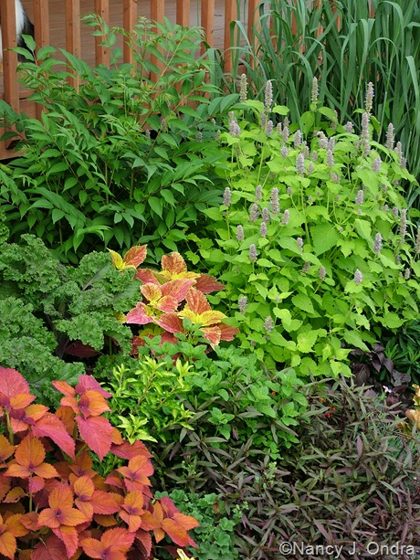 "Alternanthera ""reineckii""? with Coleus 'Sedona' and 'Bellingrath Pink', Agastache 'Golden Jubilee',  Kale 'Redbor', Toona sinensis, and Panicum virgatum 'Dallas Blues' midJuly 05"