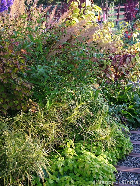 Melissa officinalis 'All Gold'. Carex muskingumensis 'Oehme', Helianthus 'Lemon Queen', and Calamagrostis brachytricha October 2011