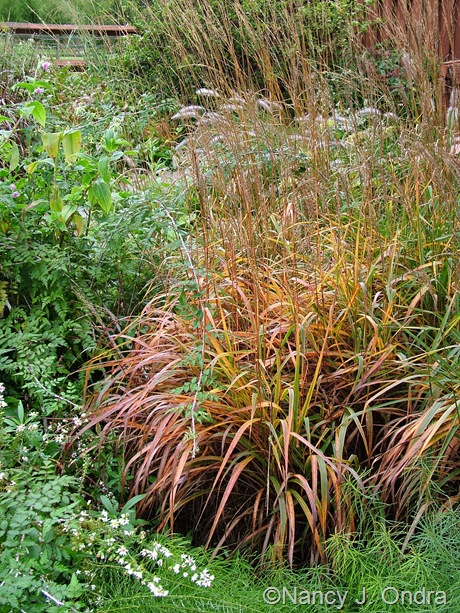 Miscanthus 'Purpurascens' Oct 2011
