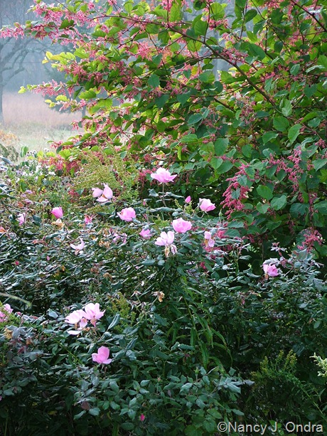 Rosa 'Radyod' (Blushing Knock Out) with Persicaria 'Crimson Beauty' October 2011
