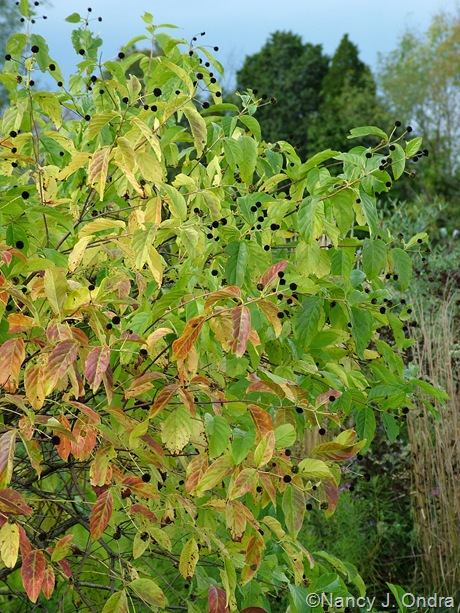Cephalanthus occidentalis fall color Oct 2011