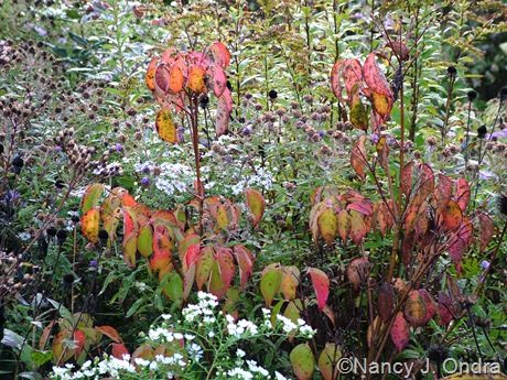 Cornus kousa 'Madison' (Crown Jewel) Oct 2011