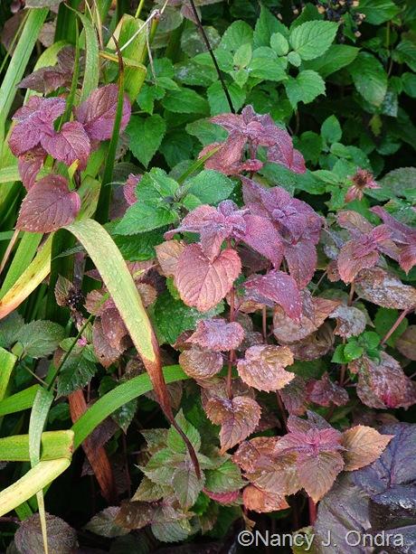Monarda 'Raspberry Wine' fall color Oct 2011