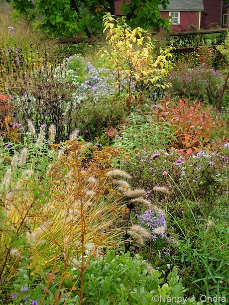 Side garden middle border at Hayefield with Patrinia scabiosifolia, Pennisetum alopecuroides, Diervilla sessilifolia, and Callicarpa dichotoma 'Spring Gold' October 2011