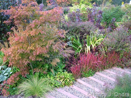 Fall color in the front garden at Hayefield: Acer palmatum, Imperata cylindrica 'Rubra', and Iris 'Gerald Darby' October 2011