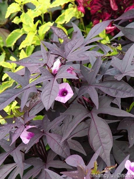 Ipomoea batatas (purple-leaved seedling in bloom) October 2011