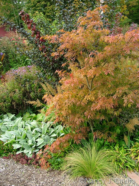 Acer palmatum with Stipa tenuissima and Stachys byzantina 'Big Ears' Oct 2011