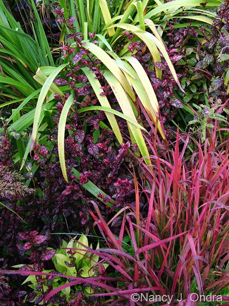 Imperata cylindrica 'Rubra' with Iris x robusta 'Gerald Darby', Hypoestes phyllostachys 'Red Splash Select', and Hosta 'Sun Power' Oct 2011