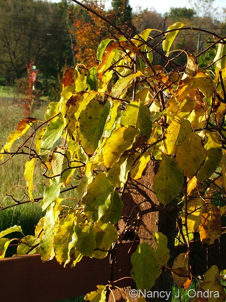 Actinidia arguta fall color Oct 2011