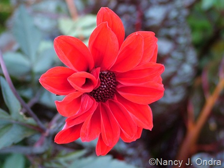Dahlia 'Bishop of Llandaff' October 2011