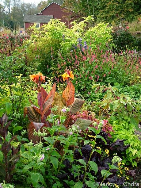 Sambucus nigra 'Aurea', Persicaria amplexicaulis 'Taurus', Canna 'Phaison' (Tropicanna), and Tinantia erecta October 2011