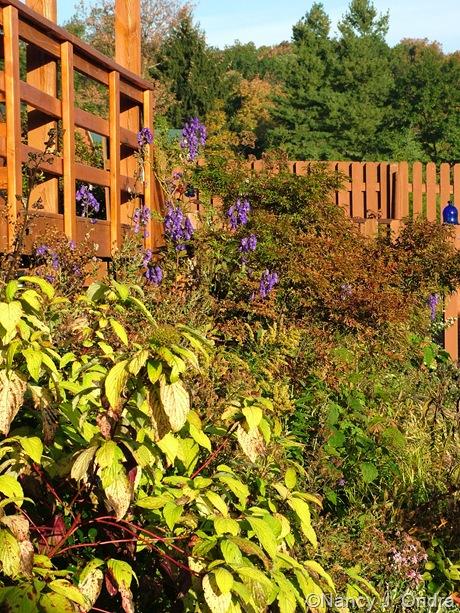 Cornus sericea subsp. officinalis 'Sunshine' and Aconitum carmichaelii Arendsii Group October 2011