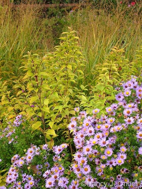 Callicarpa dichotoma 'Issai' in fall color with Symphyotricum oblongifolium and Panicum virgatum Oct 2011