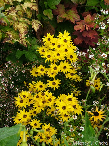 Helianthus angustifolius (H. salicifolius) 'Low Down' October 2011