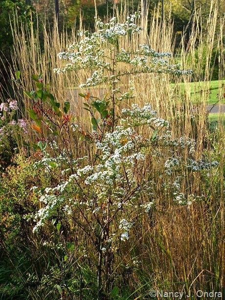 Symphyotricum with Aronia arbutifolia October 2011