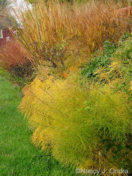 Amsonia hubrichtii in fall color with Panicum virgatum Oct 2011
