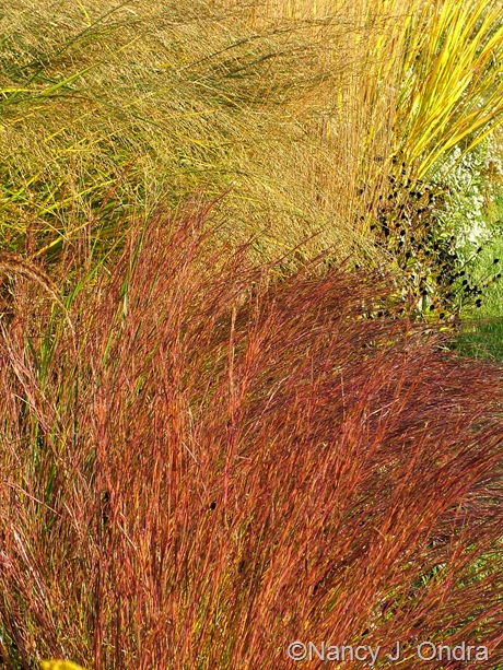 Schizachyrium scoparium 'The Blues' fall color Oct 2011