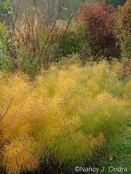 Amsonia hubrichtii in fall color with Panicum virgatum 'Huron Solstice' and Viburnum dentatum 'Blue Muffin' Oct 2011