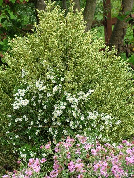 Buxus sempervirens 'Elegantissima' with Symphiotrichum October 2011