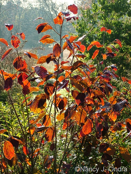 Hamamelis x intermedia 'Gingerbread' fall color Oct 2011
