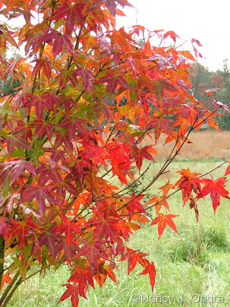 Acer oliverianum fall color Oct 2011