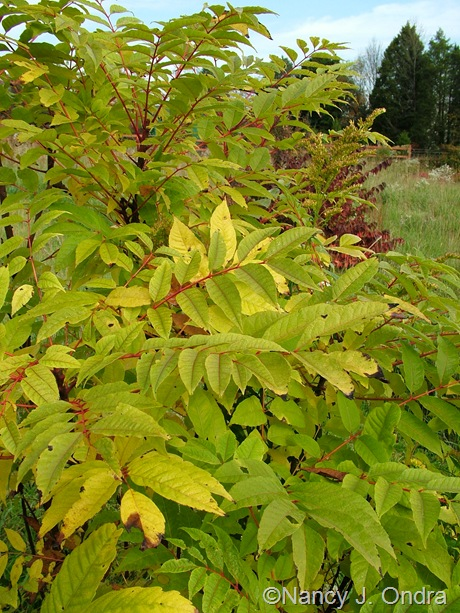 Cedrela (Toona) sinensis fall color Oct 2011