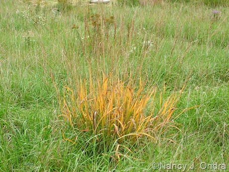 Sorghastrum nutans fall color Oct 2011