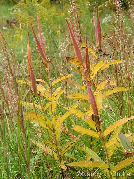 Asclepias tuberosa fall color Oct 2011