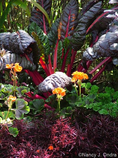 Alternanthera ficoidea 'Red Threads' with Pelargonium x hortorum 'Red Velvet Scarlet' and chard 'Bright Lights' October 2011