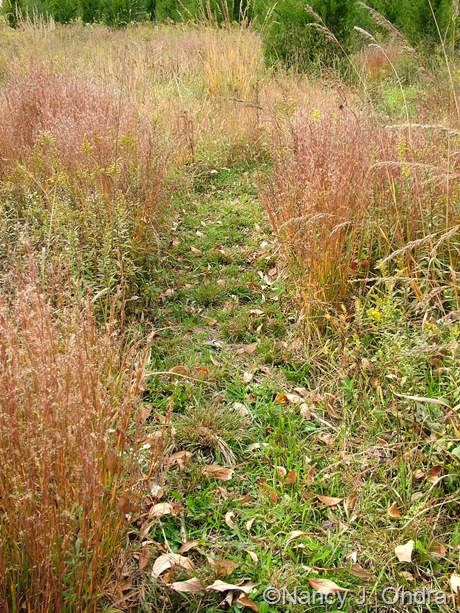 Schizachyrium scoparium fall color Oct 2011