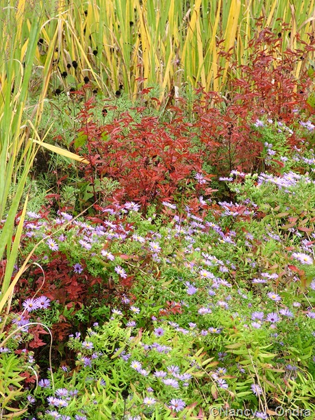 Symphyotrichum oblongifolium with Gillenia stipulata and Panicum virgatum 'Dallas Blues' October 2011