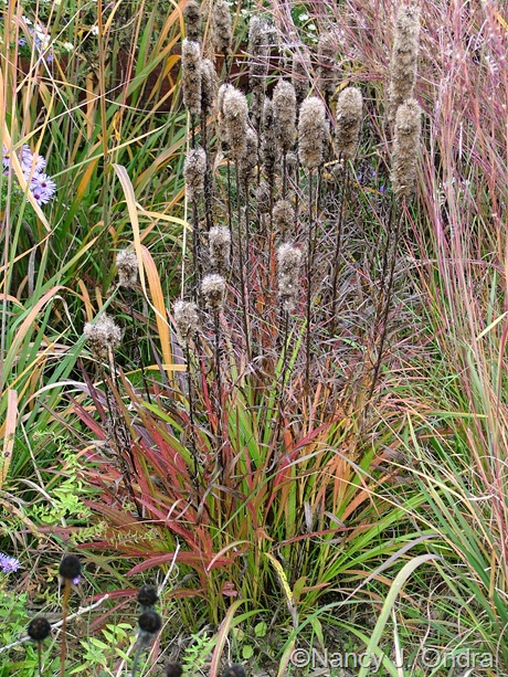 Liatris spicata 'Kobold' fall color Oct 2011