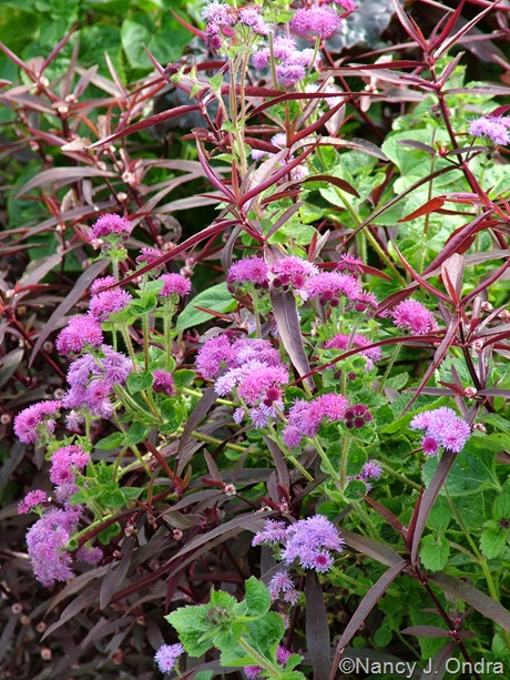 Ageratum houstonianum 'Red Sea' with Alternanthera 'Royal Tapestry' October 2011