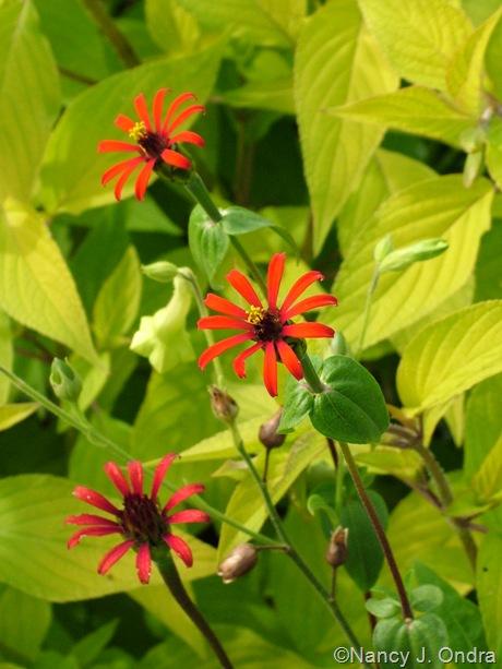 Zinnia tenuifolia October 2011