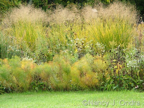 Panicum virgatum 'Cloud Nine' with Amsonia hubrichtii Oct 2011