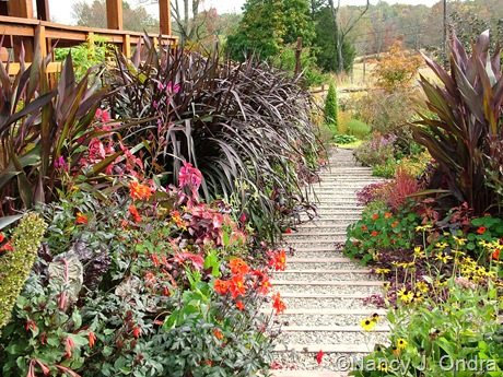 Front path at Hayefield with Pennisetum 'Tift 8' (Vertigo) and Canna 'Wyoming' October 2011