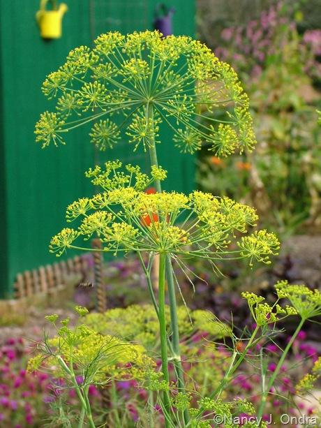 Anethum graveolens (dill) flowers October 2011