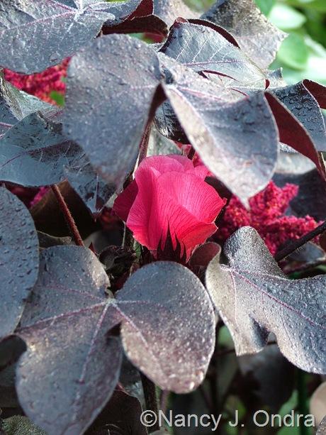 Gossypium herbaceum 'Nigrum' September 26 2011