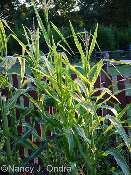 Zea mays 'Old Gold' August 11 2011
