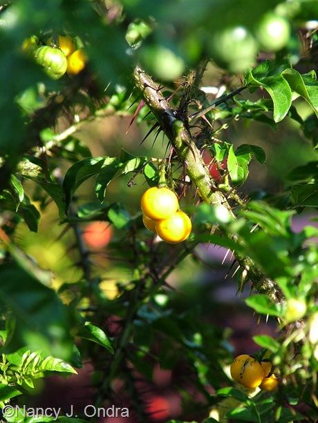 Solanum atropurpureum Oct 2011